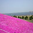 D突堤の芝桜